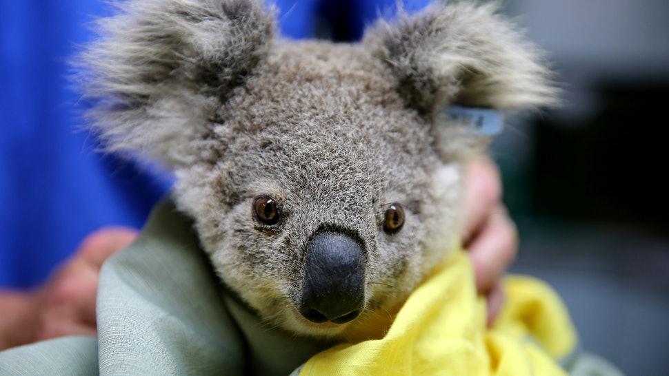 オーストラリアの14歳の少年がコアラ救済ファンドの御礼を3Dプリンターで製造